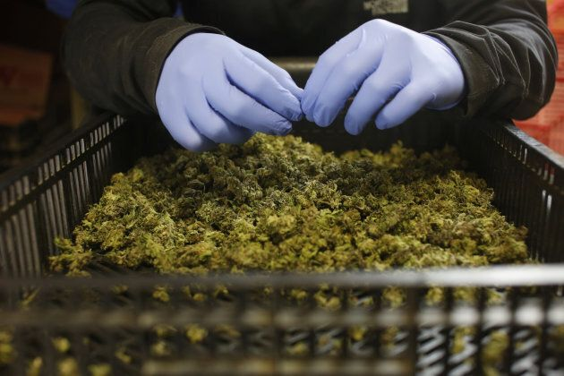 An employee sorts freshly harvested cannabis buds at a medical marijuana plantation in northern Israel...