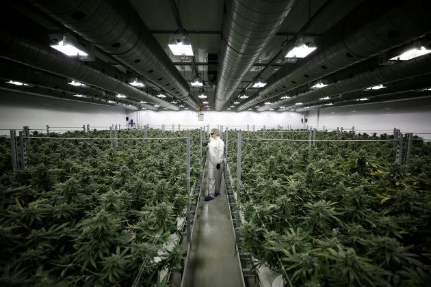 Section grower Corey Evans walks between flowering marijuana plants at the Canopy Growth Corporation...