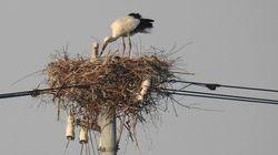 コウノトリのカップルに北陸電力が粋な対応。巣を作った電柱を送電中止に