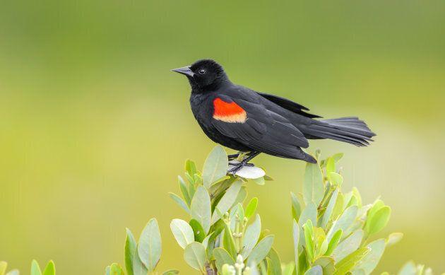 Red-winged black bird.