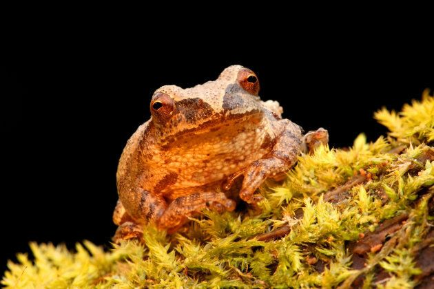 A spring Peeper frog.