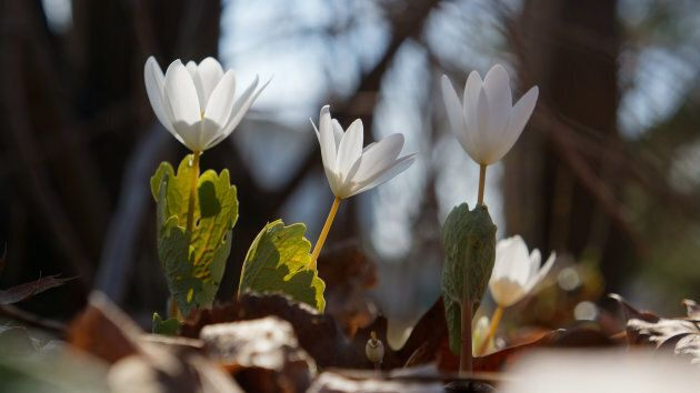Bloodroot growing in early spring.