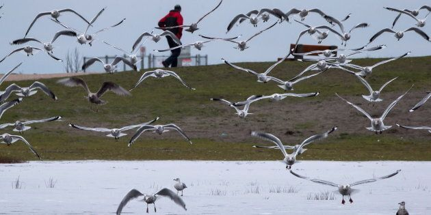 Seagulls fly above a partially frozen marsh as a man walks along a pathway at Gary Point Park in Richmond,...