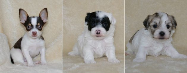 A Chihuahua puppy, left to right, a female Havanese-Maltese puppy and a male Havanese-Maltese puppy are...