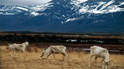 Protecting Caribou Is A Way To Protect Us