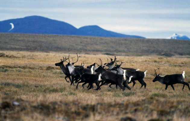 Small herd of Woodland Caribou on the tundra in the Selwyn Mountains,