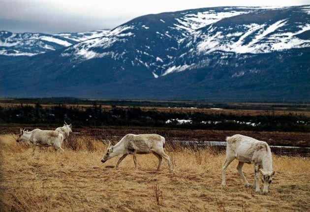 Caribou grazing near Port aux Basques,