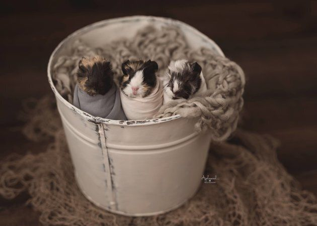 Newborn Guinea Pig Photo Shoot Is A Top Contender For