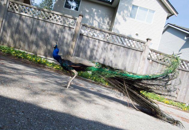 A peacock roams a back alley in Surrey, B.C., on