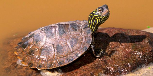 Northern Map Turtle, also known as common map turtle (Graptemys geographica), a species of rivers and...