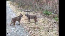 Lynx Filmed Shrieking At Each Other In