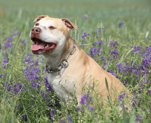 Quebec's Proposed Dangerous Dog Law Ditches Breed-Specific