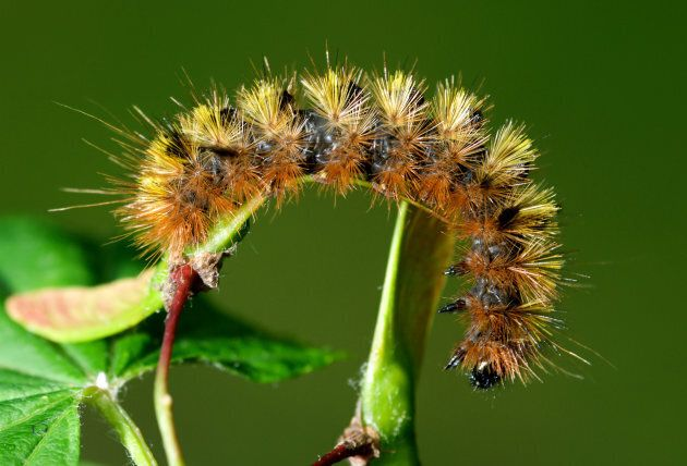 A silver spotted tiger moth caterpillar.