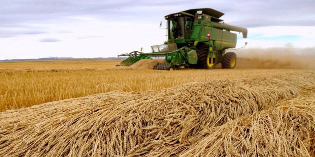 Tara Giles operates a combine as she harvests wheat on a 160-acre field located south of High River,...