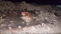 PETA Video Shows Hens At B.C. Farm Stuck In Feces, Packed With Dead
