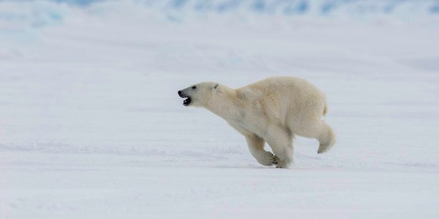 A young male polar bear