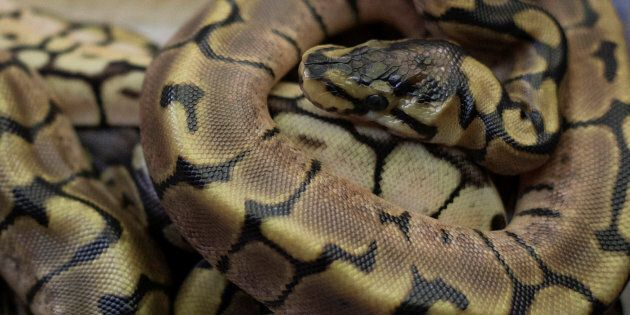 File photo of newborn ball pythons rest together in Assagay, South