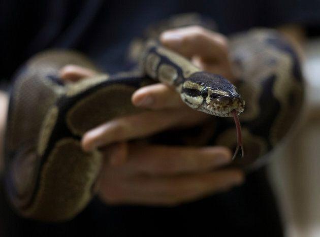 A snake breeder holds a ball python in Assagay, South