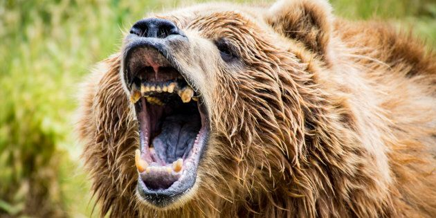 File photo of a grizzly bear