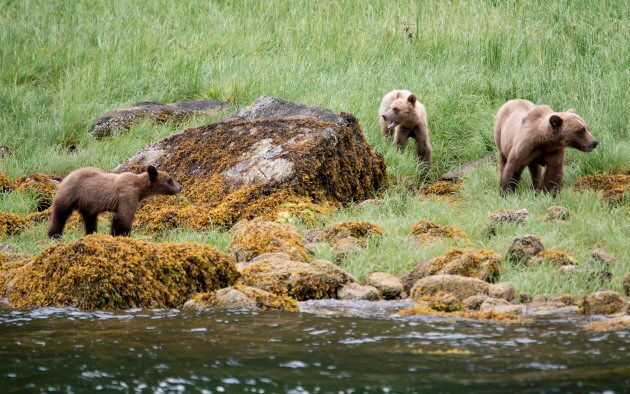 A grizzly bear and its two cubs in the Khutzeymateen Inlet near Prince Rupert, B.C., on June 2,