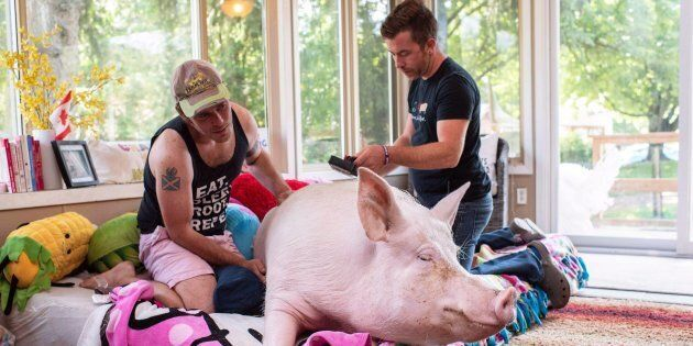 A celebrity pig whose owners raised more than half a million dollars to bring an oversized CT scanner...