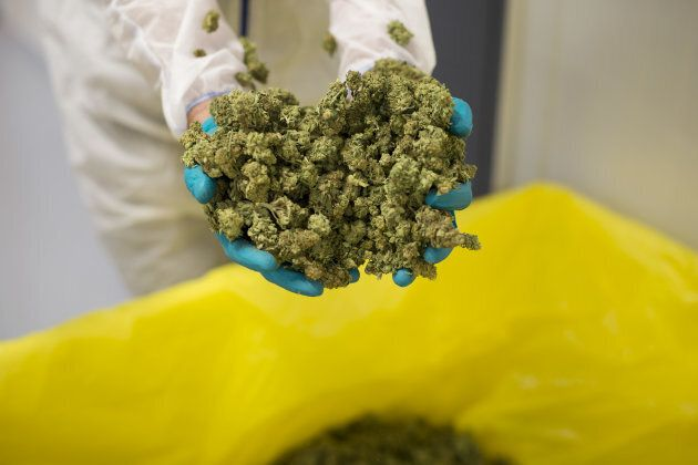 An employee displays cannabis buds for a photograph at the CannTrust Holding Inc. Niagara Perpetual Harvest...