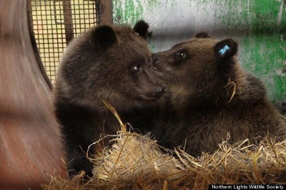 Orphan Bear Cubs In B.C. Rescued Thanks To Help From