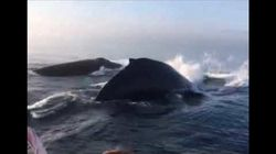 3 Humpback Whales Put On Incredible Synchronized Show In Nova