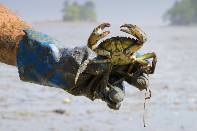 An invasive European green crab is pictured in Casco Bay in Freeport, Maine May 30,