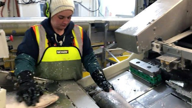 A worker moves fish down the processing line at Cooke