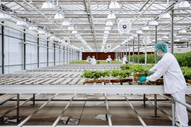 Grow technicians bring plants into the propagation and mothering room at the CannTrust Holdings Inc....