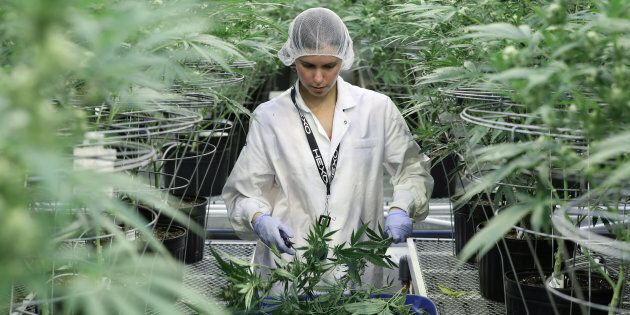 An employee collects cuttings from cannabis plants at Hexo Corp's facilities in Gatineau, Que.