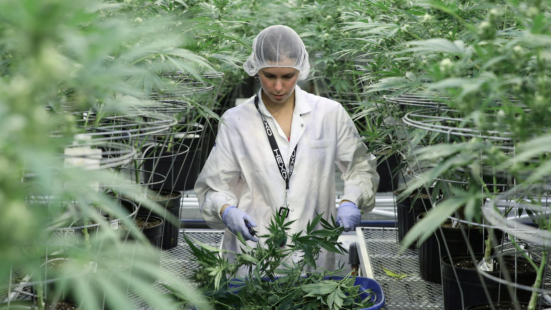 U.S. Cannabis Producers Fear Canada Will 'Dominate The Industry'