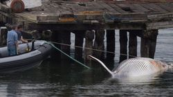 Dead Whale Hit By Cruise Ship Floats Into Vancouver
