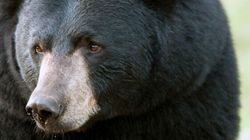Black Bear Killed B.C. Camper:
