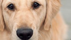 10 Awesome Golden Retriever