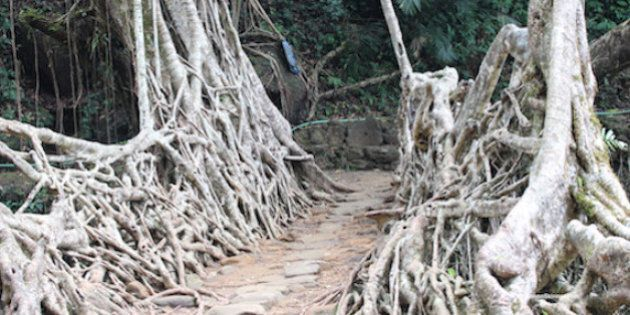 India's Incredible Living Root