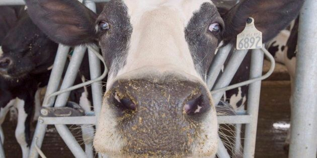 A dairy cow at a Quebec farm on Aug. 31,