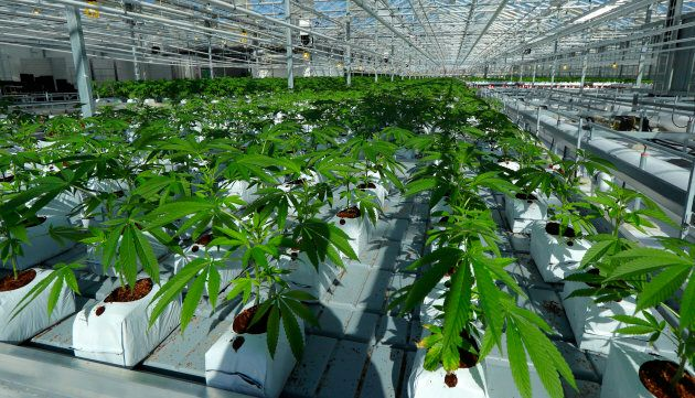 Marijuana plants in a massive tomato greenhouse being renovated to grow pot in Delta, British