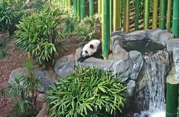 PandaCam viewers can expect to see a lot of bamboo eating...and pooping. According to the Calgary Zoo,...