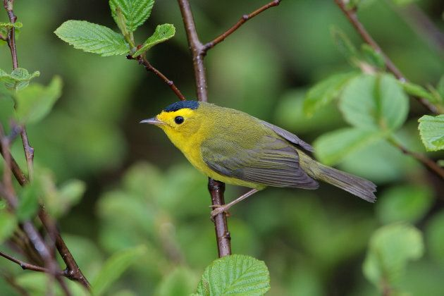 The North French River is alive. Wilson's Warbler is one of the many species native to the