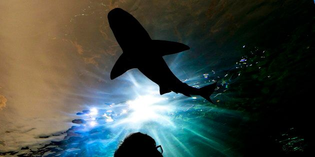 A person watches a shark swim during the grand opening of the Ripley's Aquarium of Canada in Toronto...