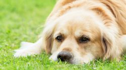 Study Tries To Determine Why Golden Retrievers' Lifespans Are