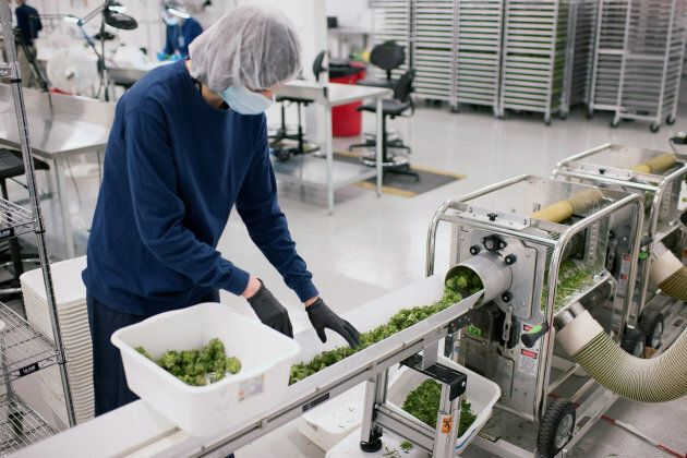 An employee loads medical marijuana cuttings into the automated trimmer at the Tweed Inc. facility in Smith Falls, Ont.