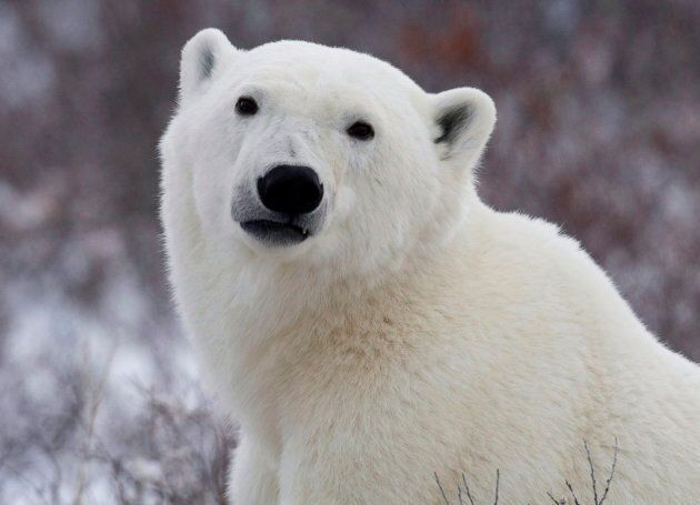 Environment Canada said the findings on polar bears in the Nunavut government's draft plan is