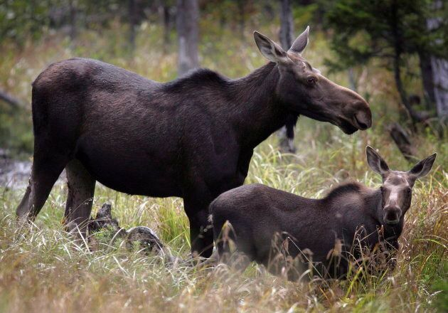 Newfoundland chefs say they have the benefit of access to year-round fresh moose and other game, which...