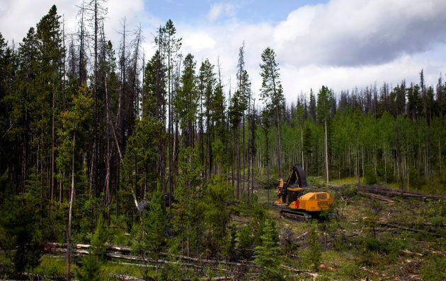 A feller buncher cuts down trees west of Quesnel, B.C. on July 10,