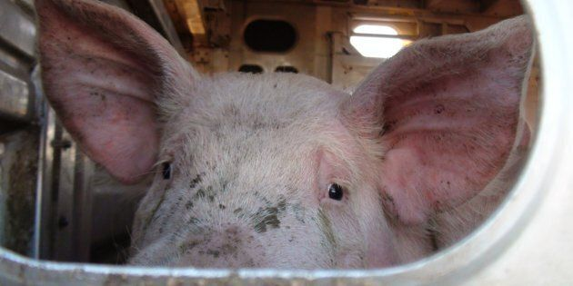 Once in China, this pig will be crammed into a barren metal and concrete crate in a high-rise factory...