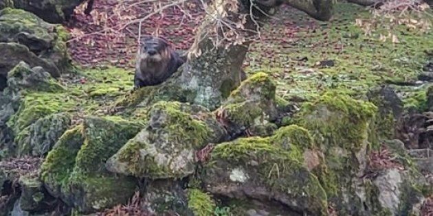 An otter is seen behind a tree in the Dr. Sun Yat-Sen Classical Chinese Garden, in Vancouver in a recent...