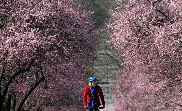 A cyclist rides past cherry trees in full bloom in Vancouver, March 12,